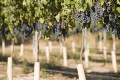 Wine Grapes Growing In Vineyard - stock photo