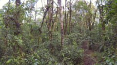 Flying through the understory of montane rainforest beside a footpath Stock Footage