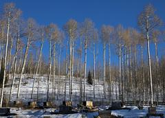 Aspens at sled dog kennel Stock Photos