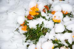 the first abnormal snow and flowers in the snow - stock photo