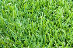 St augustine grass backdrop Stock Photos
