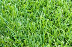 st augustine grass backdrop - stock photo