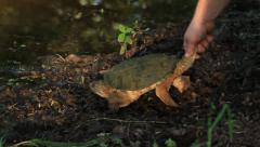Stock Video Footage of releasing Snapping turtle.mp4