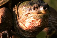 Alligator Snapping Turtle - stock photo