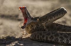 Rattle Snake Strike Stock Photos