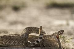 Rattle Snake Strike - stock photo