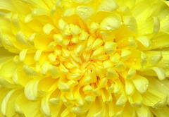 Stock Photo of yellow color chrysanthemum