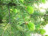 Stock Photo of green spruce needles