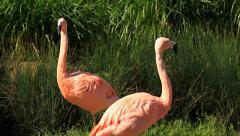 Birds Flamingos Stock Footage