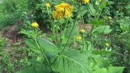Stock Video Footage of medical plant Yellowhead  (Inula helenium) in summer