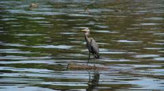 Blue Heron Stock Footage