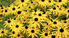rudbeckia plants in flower - stock footage