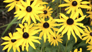 Stock Video Footage of rudbeckia plants in flower