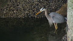 Blue Heron Fishing Stock Footage
