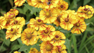 Stock Video Footage of yellow, helenium flower in a garden