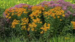 Stock Video Footage of prairie style perennial garden flower bed