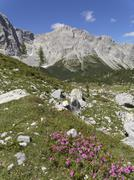 Austria, Carinthia, Carnic Alps, Wolayer Alm and Alpine Rose (Rhododendron - stock photo