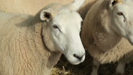 Stock Video Footage of cheviot sheep, ewes