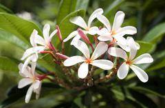 Stock Photo of Singapore, Blossom of Plumeria alba