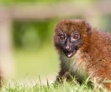 red-bellied lemur (eulemur rubriventer) - stock photo