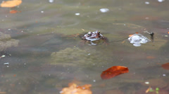 Swimming frog and frog near spawn Stock Footage