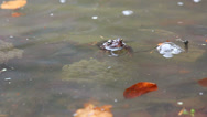 Stock Video Footage of Swimming frog and frog near spawn