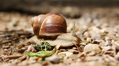 Crawling snail Stock Footage