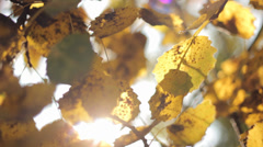 Autumn Tree Leaves 9 Stock Footage