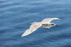 Canada, British Columbia, Vancouver Island, Glaucous-winged Gull (Larus - stock photo