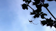 A large spider weaves it's web silhouetted against the evening sky Stock Footage
