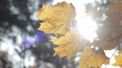 Autumn Tree Leaves 6 Slow Pan Stock Footage