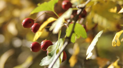 Autumn Berries Stock Footage
