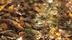Small Pine in Autumn 2 Stock Footage