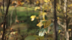 Autumn Tree Leaves 5 Slow Pan Stock Footage