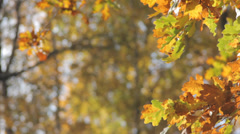 Autumn Tree Leaves 2 Slow Pan Stock Footage