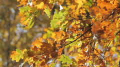 Autumn Tree Leaves Stock Footage