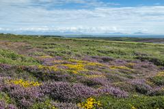 UK, Wales, Anglesey, Holy Island, blooming heath and Genista at the coast of - stock photo