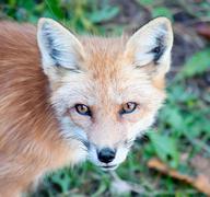 Young Red Fox Looking at Camera Stock Photos