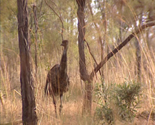 Emu, dromaius novaehollandiae in Australian savanna woodland - on camera Stock Footage