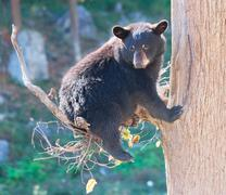 Black Bear Cub Sitting in a Tree and Looking at the Camera Stock Photos