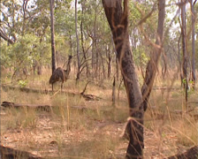 Emu, dromaius novaehollandiae in tropical savanna Stock Footage