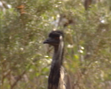 Emu, dromaius novaehollandiae  - close up head and upper neck. Stock Footage