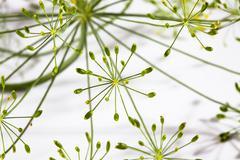Dill blossoms (Anethum graveolens) Stock Photos