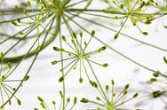 Stock Photo of Dill blossoms (Anethum graveolens)