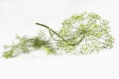 Dill blossoms (Anethum graveolens) - stock photo