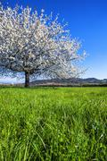 Big white blossoming tree Stock Photos