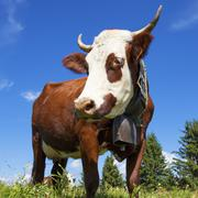 Stock Photo of portrait of cow in french alps