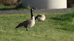 Canadian Geese - stock footage