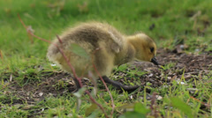 Canadian Geese Babies Stock Footage