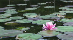 Pink Lilly Pad Stock Footage